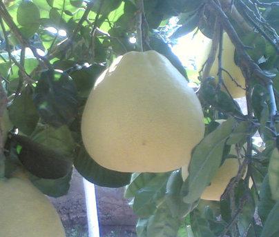 فوائد فاكهة البوملي boumaly.jpg