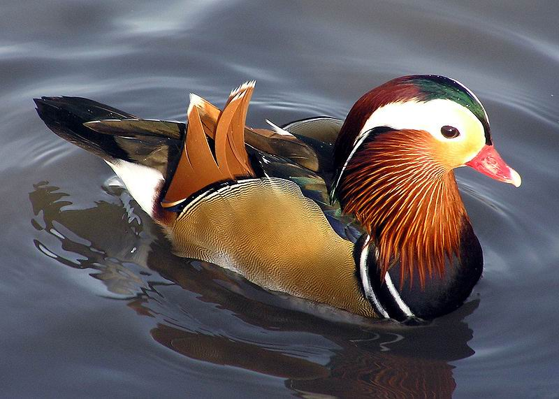 ����� ��������� 800px-Mandarin.duck.jpg