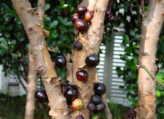 معلومات عن شجرة العنب البرازيلي الأغرب في العالم Jabuticaba-3