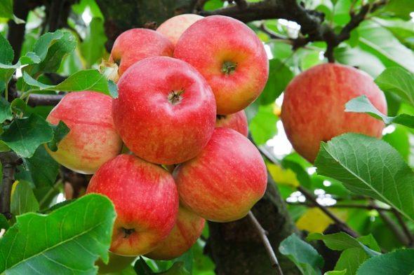 تفسير حلم التفاح الغير ناضج في المنام للرجل والمرأة المتزوجة والحامل والعزباء حلم تقطيع التفاح